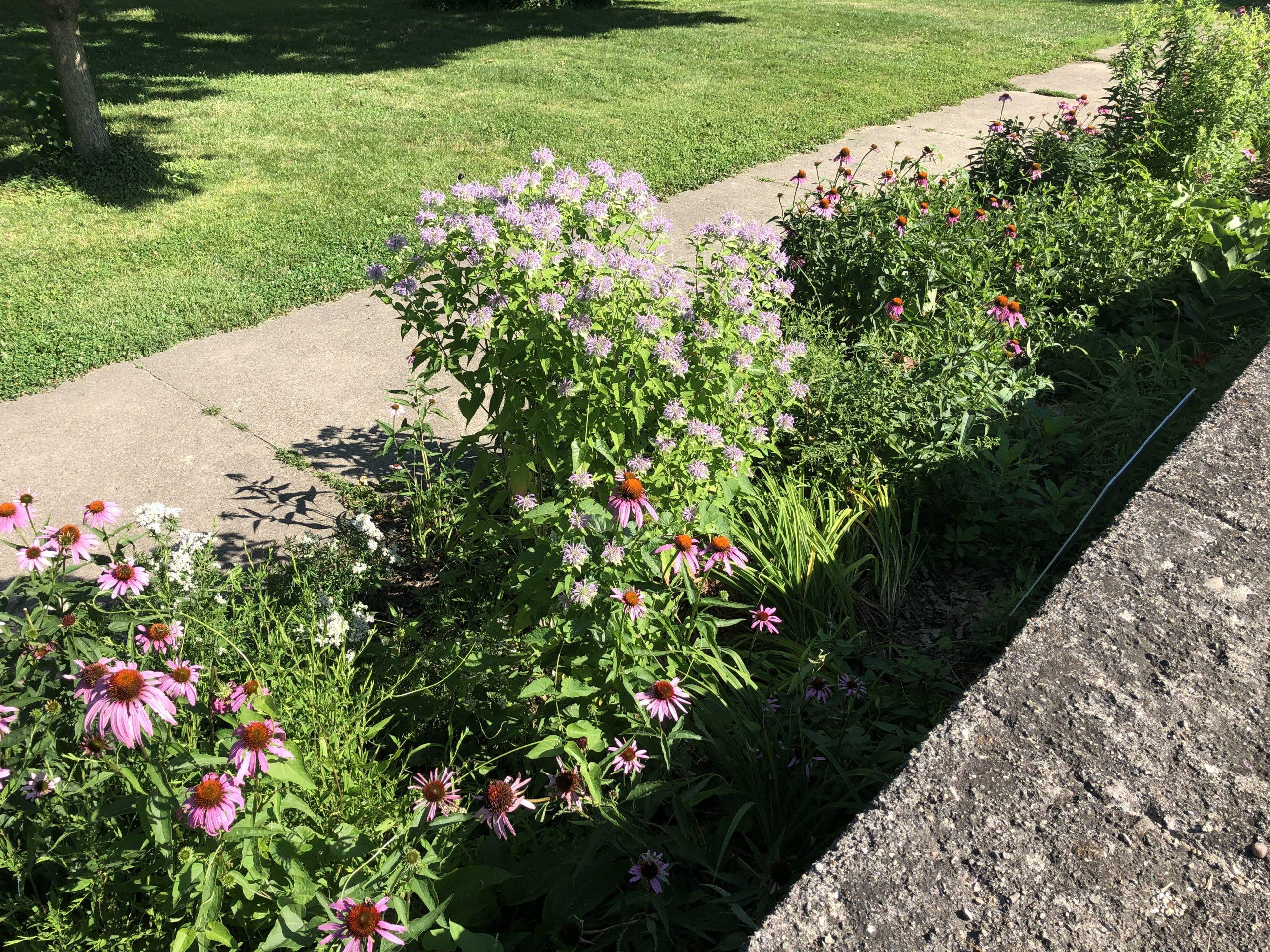 Pollinator gardens blooming