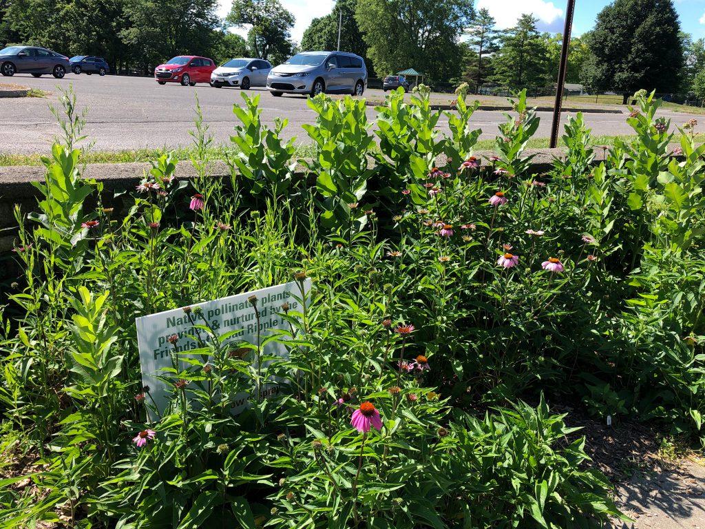Coneflowers, milkweed & more