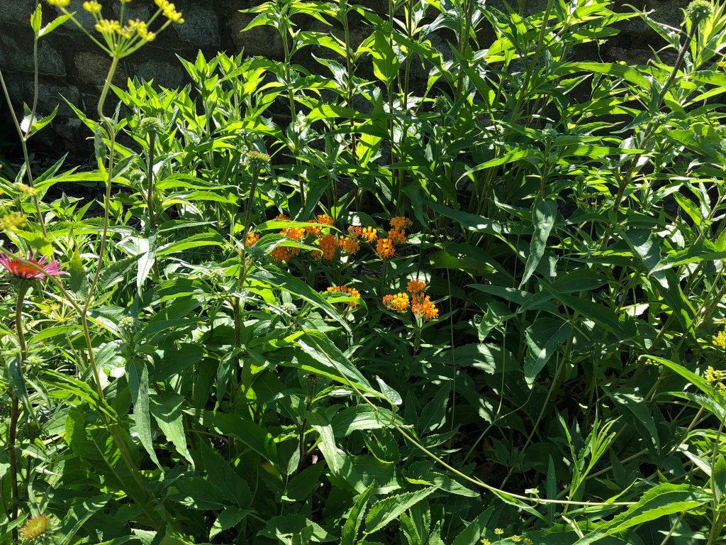 Butterfly milkweed in bloom